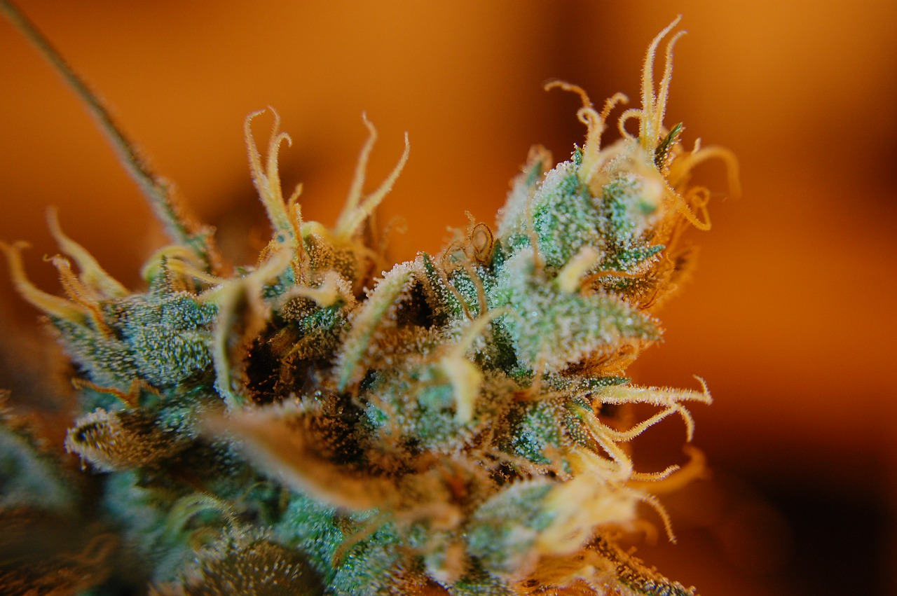 close up of a cannabis bud